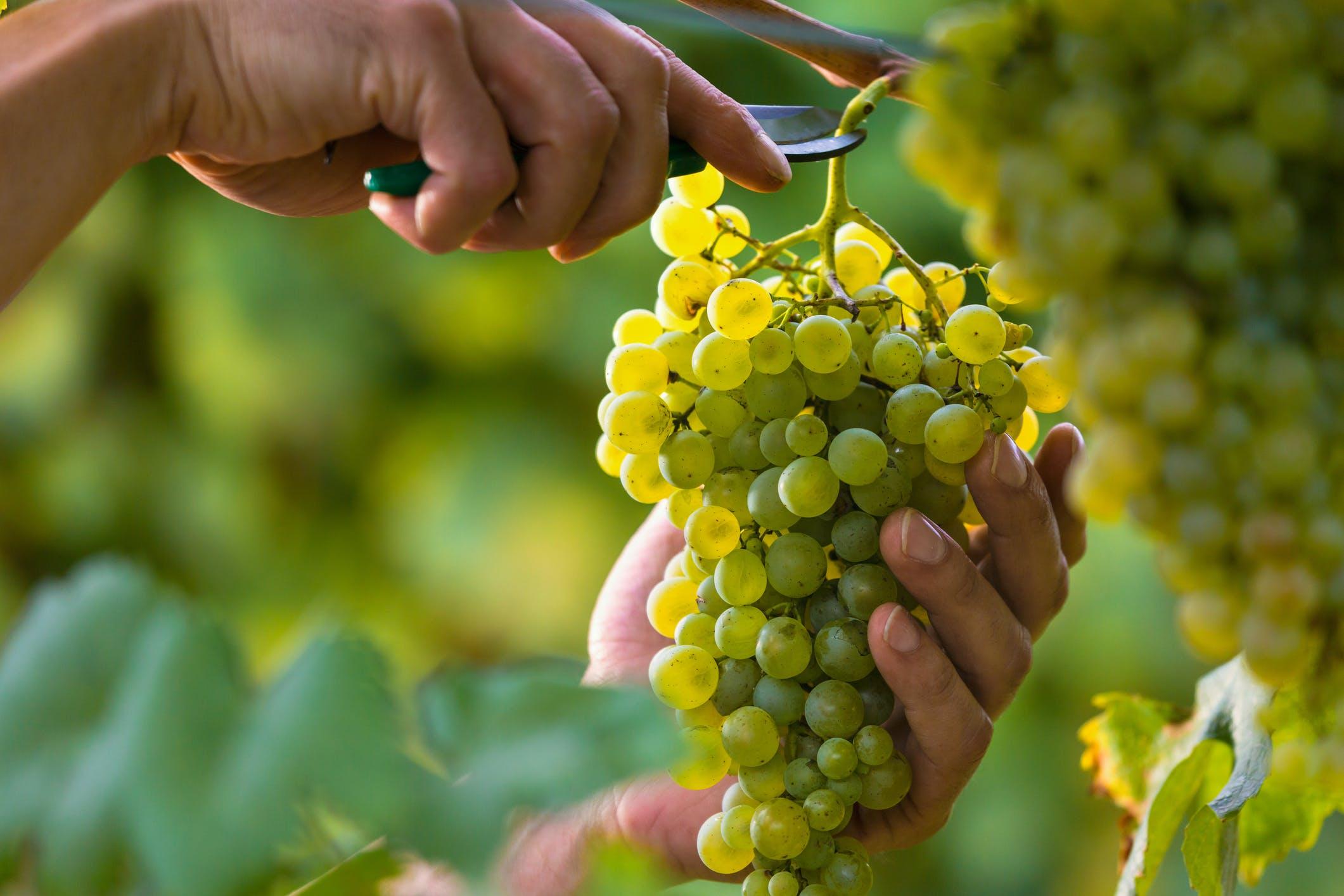 De prosecco-druiven worden zorgvuldig geteeld in deze omgeving