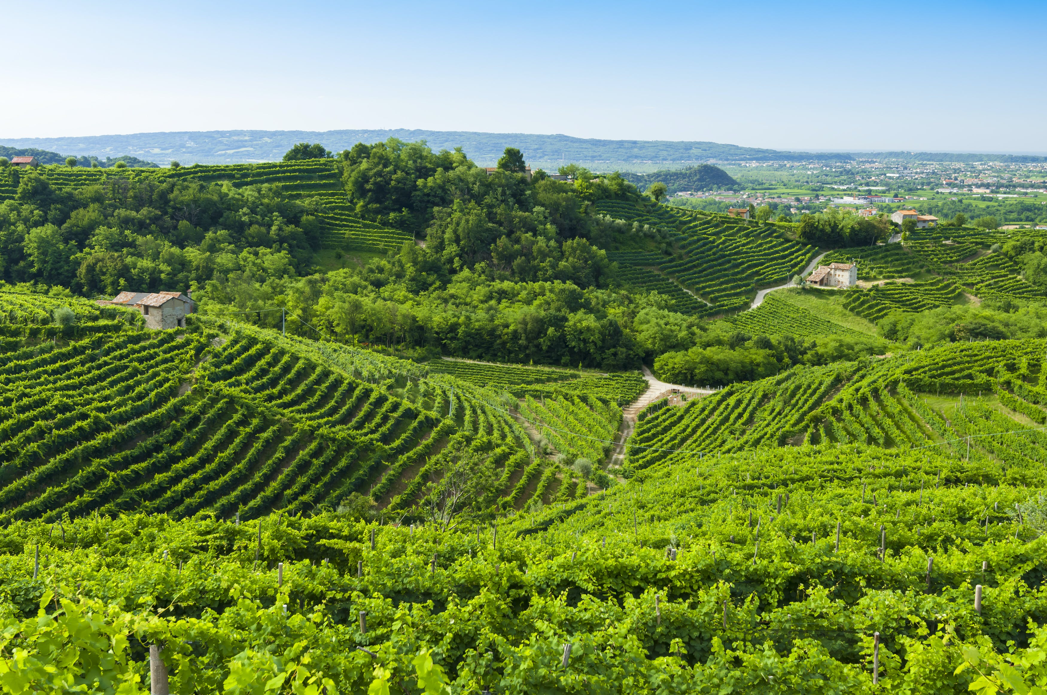 De wijngaarden in de streek van Veneto