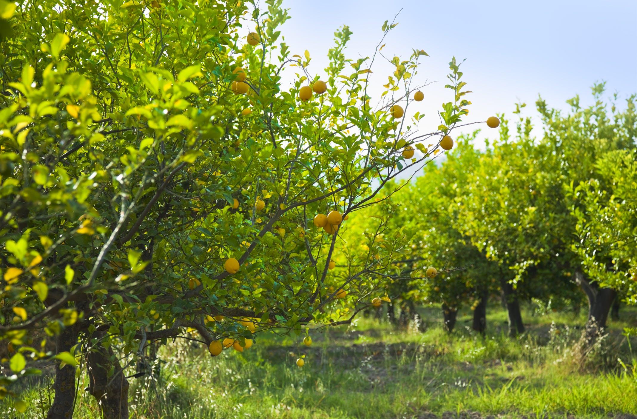 Geniet van het uitzicht over citroenplantages in het binnenland